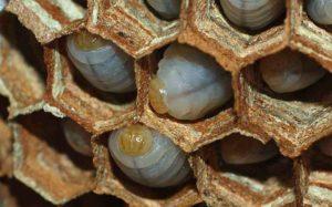 Blick auf Hornissenlarven in einer offenen Wabe. (Foto: Klaus Maresch)