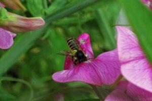 Eine Blattschneiderbiene beim Sammeln in einer Staudenwicke
