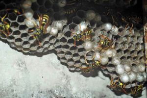 Eine völlig harmlose Feldwespen-Kolonie. Kein seriöser Schädlingsbekämpfer wird hier eine Wespenbekämpfung vornehmen, denn Feldwespen sind harmlos und errichten nur ein sehr kleines Wespennest. (Foto: Honighäuschen)