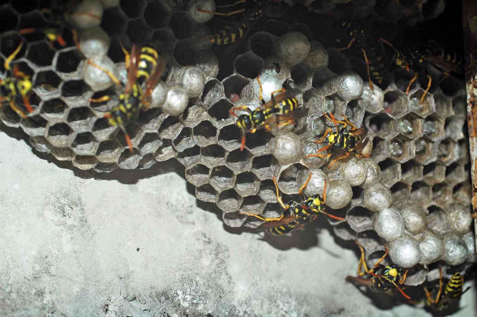 Eine harmlose Feldwespen-Kolonie (Foto: Honighäuschen)