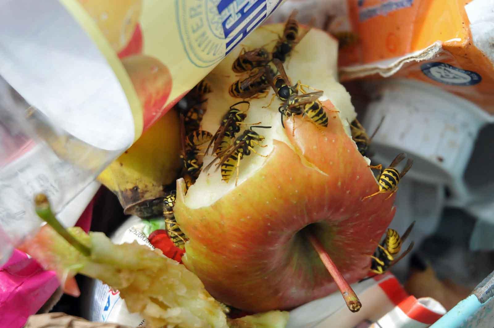 Wespen, Wespen und kein Ende. Die alljährliche Wespenplage ist wieder da. (Foto: Klaus Maresch)