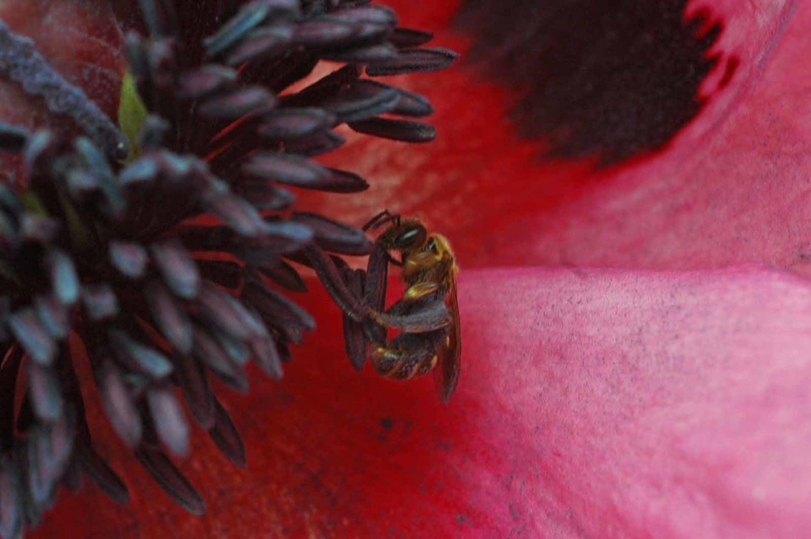 Eine Wildbiene sammelt Pollen im Mohn (Foto: Honighäuschen)