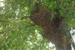 Ein Bienenschwarm in Lannesdorf (Foto: Honighäuschen)