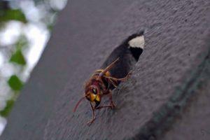 Eine Hornisse bewacht den Eingang des Nistkastens. Auch Hornissen sind bedroht. (Foto: Klaus Maresch)
