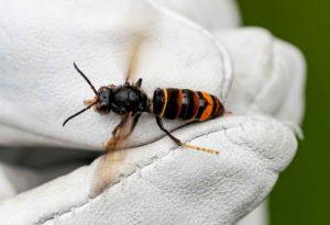 Eine Arbeiterin der Asiatischen Hornisse Vespa Velutina nigrithorax. Foto: Axel Heimken/dpa