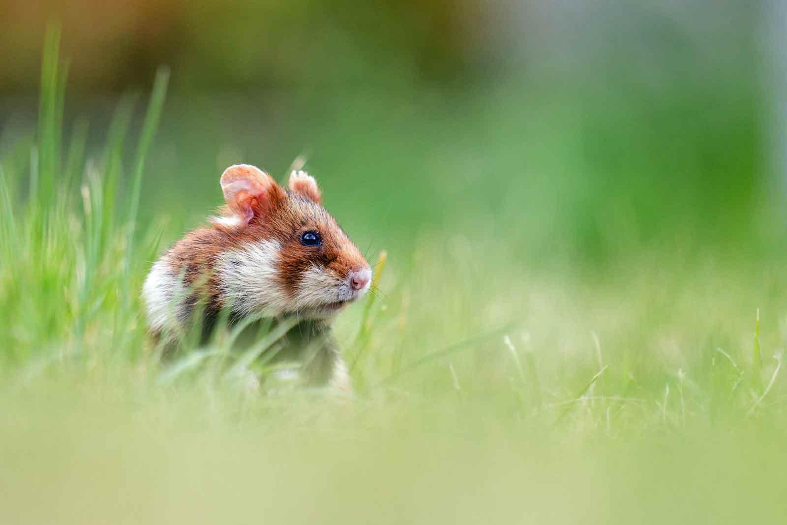 Unmittelbar vom Aussterben bedroht ist beispielsweise der Feldhamster. Der kleine Nager steht auf der weltweiten Roten Liste der bedrohten Arten. Für vom Aussterben bedrohte Tiere braucht es ein Notprogramm. (Foto: Nabu)
