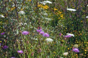 Eine blütenreiche Staudenflur wie im alten Steinbruch am Lyngsberg bietet Bienen und Schmetterlingen Nahrung (Foto: Klaus Maresch)